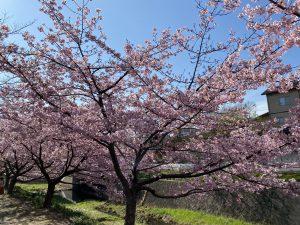 河津桜を見に行ってきたよ!